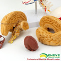 SKULL11-1 (12337-1) Skull with Brain, Medical Science Anatomy Cranial Nerve Plastic Skull Brain Models