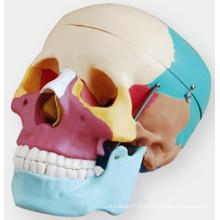 Crâne aux os colorés Weichegnya
