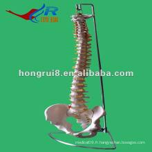 Modèle squelettique de la colonne vertébrale ISO, colonne vertébrale à la vie avec le bassin