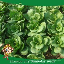 Suntoday tolerante al calor repollo chino acelga vegetal asiático F1 criador de semillas de repollo orgánico (37001)