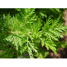 Sweet Wormwood Extract powder Artemisinin 5% -99%