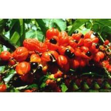 Fuente de la fábrica Extracto de guaraná directamente 100% natural