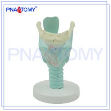 PNT-0442 Modèle de larynx humain marqué anatomiquement, modèle anatomique du larynx