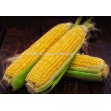 NCO01 Shengchi Hybrid sementes de milho doce china sementes vegetais produtor