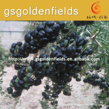two year survival rate high black goji berry young Seedling for sale