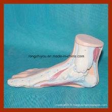 Modèle anatomique de pied normal humain pour l'apprentissage médical
