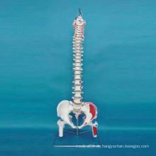 Menschlich beschriftetes Skelettknochenmodell für medizinische Lehre (R020712)