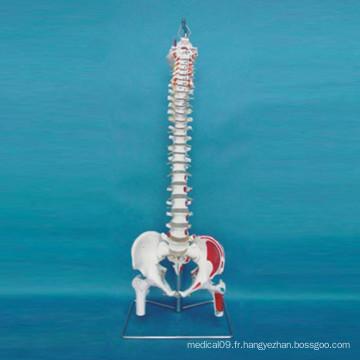 Modèle d'osselettes squelettiques à l'homme pour l'enseignement médical (R020712)