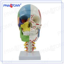 Modèle de crâne grandeur nature PNT-0155 avec nerfs et vaisseau