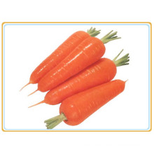 Frisches Gemüse Karottenproduktion