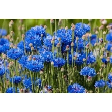 Kinesisk attraktiv Cornflower Sale