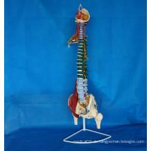 Beschriftetes menschliches Wirbelsäule-Skelettmodell für medizinische Lehre (R020706)