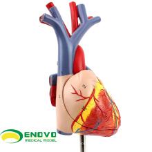 HEART02 (12478) Nouveau modèle de coeur anatomique médical en 2 parties, modèles d'anatomie> modèles de coeur