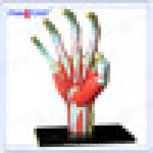 PNT-7002 educacional mão Humano osso modelo de brinquedo anatômico
