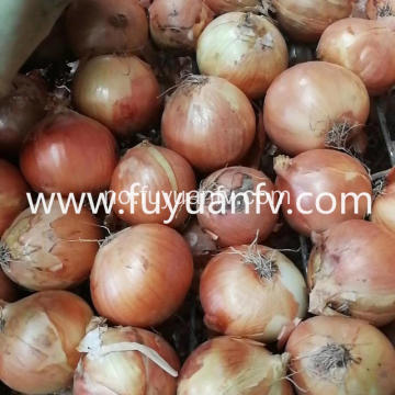 Engros New Crop Yellow Onion