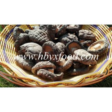 4-5cm Grade a Smooth Shiitake Mushroom Without Stem