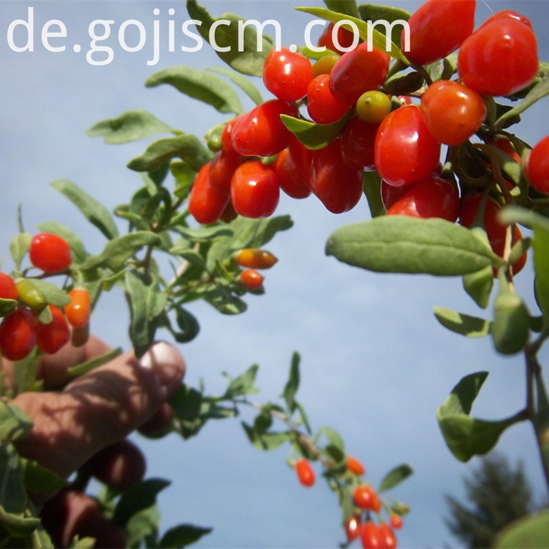fresh Sun Dried Goji Berry