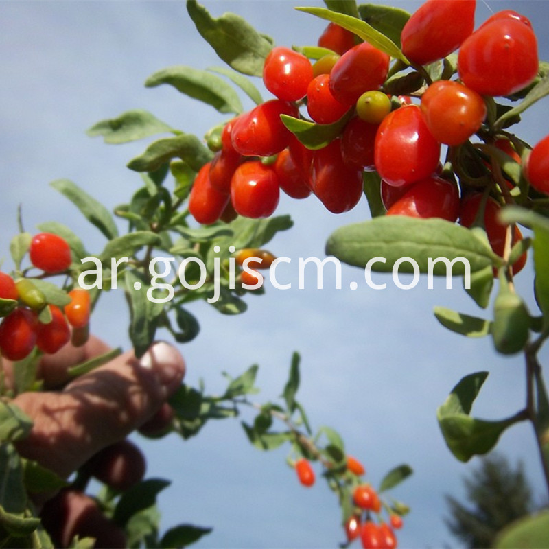 Nutrious Herbal Goji berry