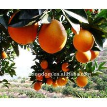 New Crop Navel Orange