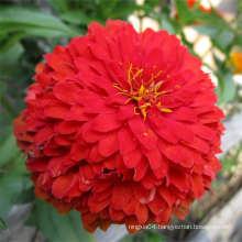 Factory Price Marigold Lily Flower Seed Flower Gerbera Seed