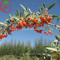 Ningxia NQ-01 Goji Berry seeds/Goji seeds for planting