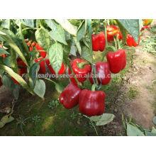 SP27 Jihong maturité précoce f1 hybride graines de poivron rouge graines de poivron