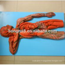 Modèle de système vasculaire ISO, modèle anatomique du système lymphatique