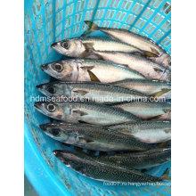 W / R Свежая замороженная рыба из скумбрии из морепродуктов