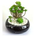 Mini plantes vivantes succulentes de bonsaï