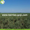Factory Massal Price Beli Wolfberries