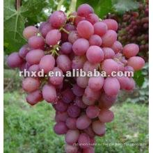 малиновый без косточек виноград