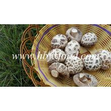 Preços De Cogumelos Shiitake De Flores Brancas Secas