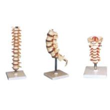 Vértebra Modelo-Torácica Humana, Vértebra Cervical, Modelo Lombar