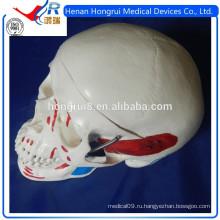 ISO-модель для взрослых с черепом с цветными мышцами