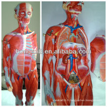 ISO Muscles of Male, Muscles Anatomical Model