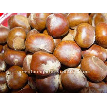 Chestnut New Corps For Export