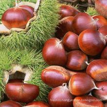 40-60PCS/Kg for Fresh Red Chestnut