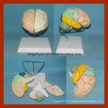 Modèle de cerveau avec artères par séparation colorée (détacher peint)