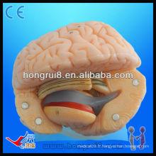 Modèle avancé de l'anatomie du cerveau du PVC Modèle Cérebro humain de haute qualité