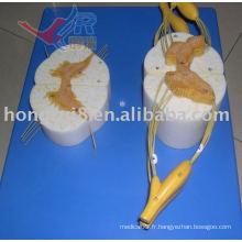 Modèle anatomique ISO de la moelle épinière avec des branches nerveuses