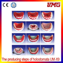 Advanced Dental Teeth Modelfor Teaching