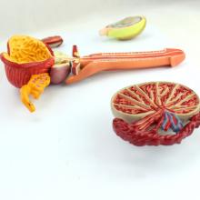 ANATOMY33 (12471) Medical Science Humano Modelo Reprodutivo Masculino Modelo Anatômico