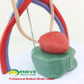 UROLOGY05(12425) Medical Science Human Urinary System Model for School Medical Education