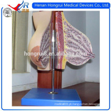 Modelagem de glândula mamária ISO do peito em aleitamento
