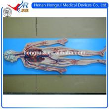 Sistema circulatório de sangue ISO Deluxe