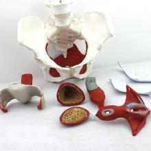 PELVIS07 (12344) Anatomie médicale Muscles pelviens féminins et modèles d'organes