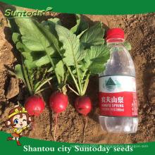 Suntoday овощей Агро водных растений урожайность гибридных органических выращивания F1 на Чери редька гибридные семена F1 для сельского хозяйства (51001)
