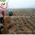 Natural Chinese Black Wolfberry seeds for plant