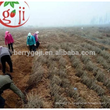 Природные китайские черные семена Волкберри для растения