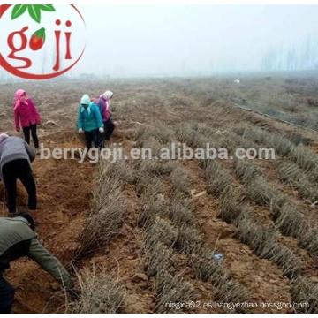 Natural chino negro Wolfberry semillas para la planta